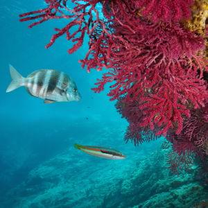 Kaloja koralliriutalla välimerellä.