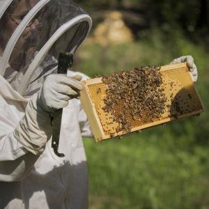 En biodlare med skyddsdräkt håller upp en ram med honung och bin.