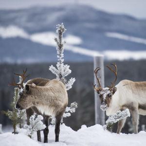Två renar i vinterlandskap.