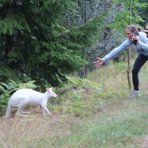 Kängurun Willy Wonka på rymmen på Åland