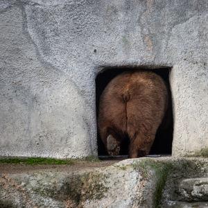 Björn går in i sitt ide.