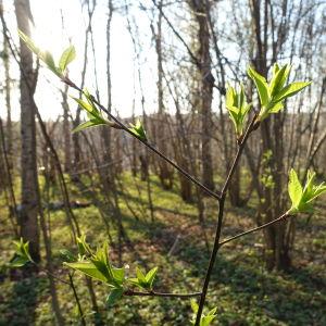 knoppande träd i skog