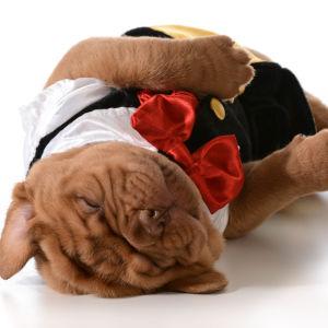 En hundvalp i kostym sover på rygg.
