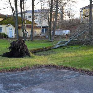 Träd i Dalsbruk som stormen vält