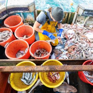 Fiskebåt och fiskar