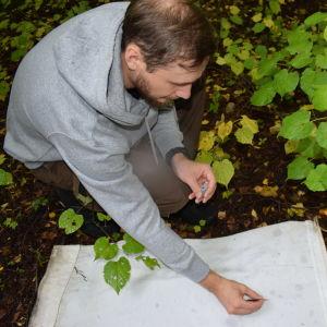 En man plockar fästingar från ett vitt lakan med pincett.