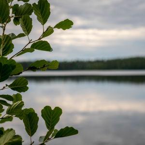 Spegelblank sjö, i förgrunden ett lövträd, en al.