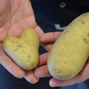 Kaksi perunaa kädessä. Toinen on sydämenmuotoinen.