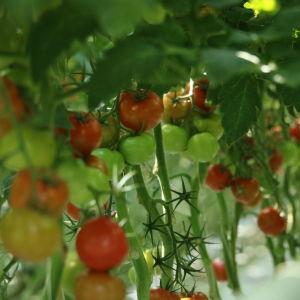 Gula, gröna och röda tomater hänger i plantor i ett växthus.