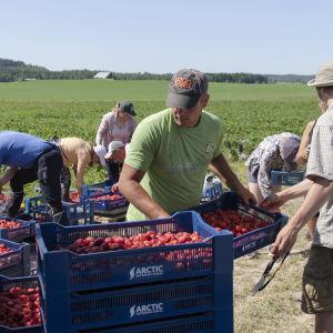 mansikanpoimijat lajittelevat mansikoita pellon laidalla.