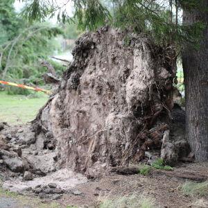 Juurineen kaatunut puu Porin Reposaaressa.