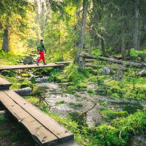 Retkeilijä kävelee metsässä pitkospuilla.