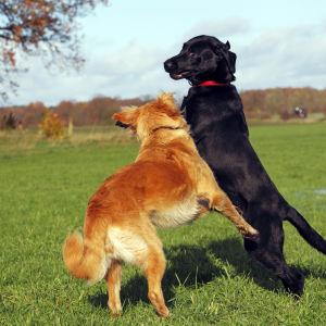 Två hundar leker på en gräsmatta.