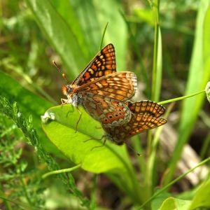 Kuva kahdesta punakeltaverkkoperhosesta lehden päällä. Ruskeita, kirjavia perhosia.