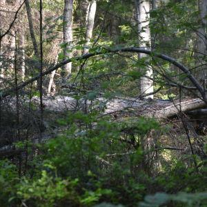 Fallna trädstammar ligger kors och tvärs.