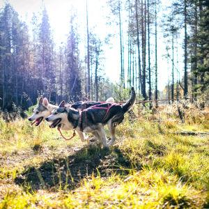 Två huskyn tränar i en höstig skog. Hundarna drar en cyklande person.