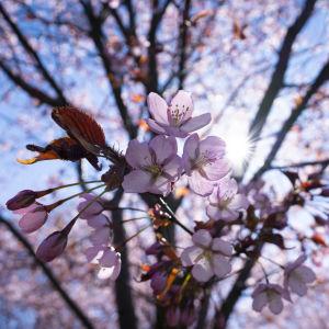 Kirsikankukkia puistossa.