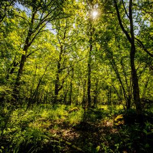 En skog en solig sommardag.