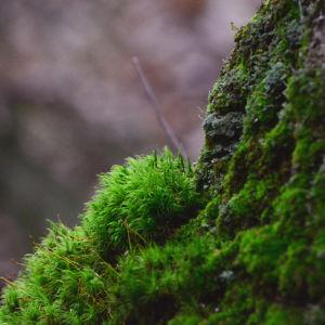 Grön och fluffig mossa växer på stammen.