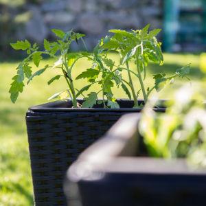 Tomaatin taimia puutarhassa.