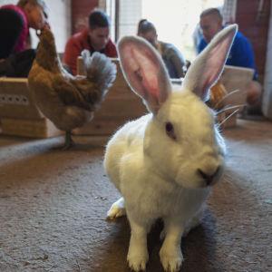 En vit kanin tittar rakt in i kameran, i bakgrunden kan man ana en höna och människor på huk.