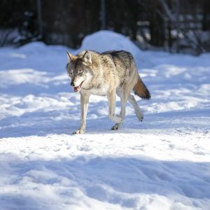 varg går i snön.