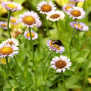 En humla sitter på en blomma.