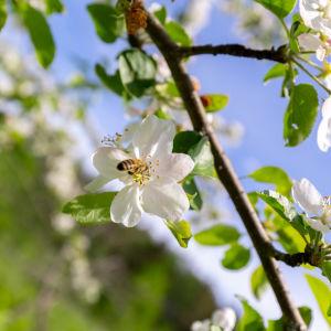 Omenan kukinto ja mehiläinen