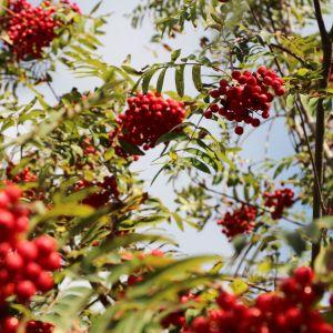 Rönnbär i ett rönnbärsträd.