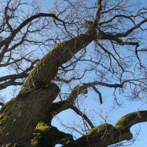Stansvikin tammien lehdettömiä oksia