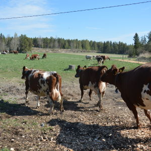 Kor springer ut i hage.
