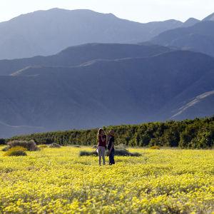 Vallmon blommar i naturparken Anza-Borrego Desert State Park den 19 mars 2019.