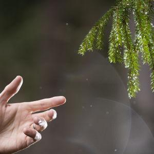Käsi kurkottaa kuusenoksaan metsässä.