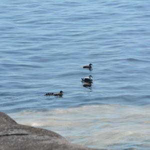 Ejdrar simmar i havet med flera ungar.