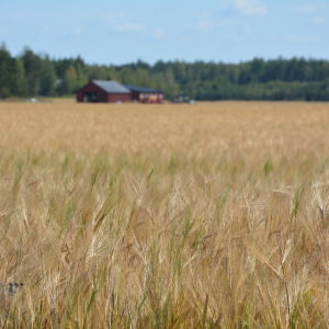 En åker med gul säd. I bakgrunden syns röda byggnader.
