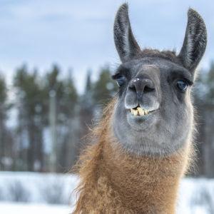 Laman Aladdin som är med i streamen Gården Live visar upp sina sneda tänder