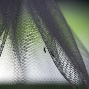 En mygga och ett malarianät. Myggan är steriliserad och ska släppas ut inom ramen för forskning i Thailand.