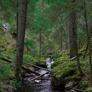 En bäck går genom en djup skog med barrträd.