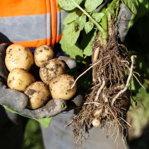 potatis som någon dragit upp ur jorden och som en människa håller i