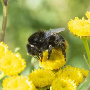 En snylthumla suger nektar från en renfana