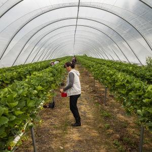Personer som plockar jordgubbar i ett växthus.
