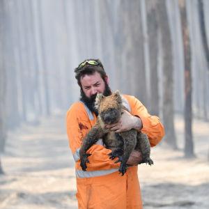 Räddningsarbetare som räddar en koala.