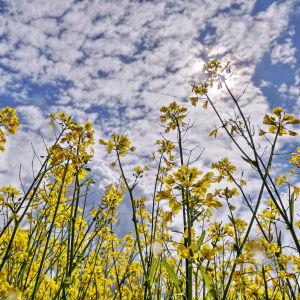 Rypsikasveja alhaaltapäin kuvattuna. Taustalla puolipilvinen taivas.