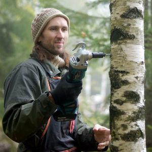 En man borrar i en björkstam.