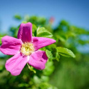 en rosa blommad vresros