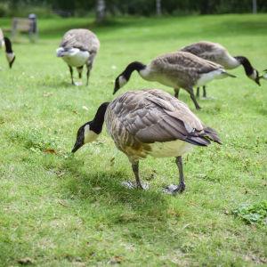 Hanhet syövät ruohoa leikkipuiston lähellä