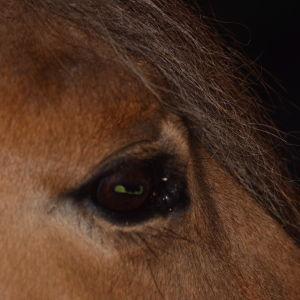 Närbild på en brun hästs öga, en liten del av manen syns också
