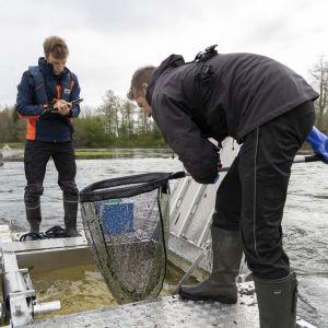 Smolttiruuvin tyhjennys Kymijoella Hinttulankoskella. Vasemmalla vesistötutkija Matias Hyrsky, oikealla vesistötutkimuspäällikkö Janne Raunio.