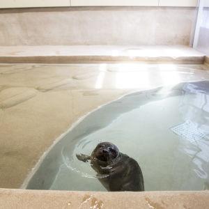 En saimenvikare tittar sorgset upp ur en inomhusbassäng.