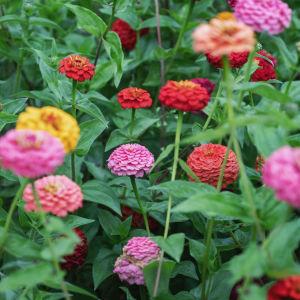 Värikäs kukkapelto, punaisia, keltaisia, oransseja kesäkukkia.